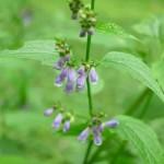 Scutellaria-lateriflora